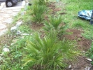 newly planted palms